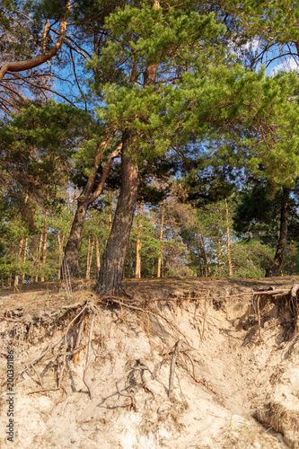 Foto op Canvas Beige Pine forest at summer with sun lights
