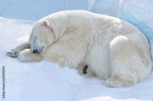 Plexiglas Antarctica Белый медведь спит.