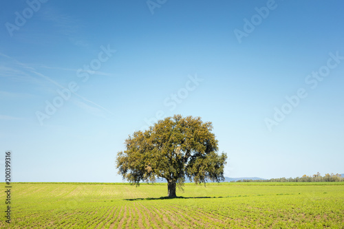 Keuken foto achterwand Toscane alone tree on the field in spring day in Tuscany in Italy