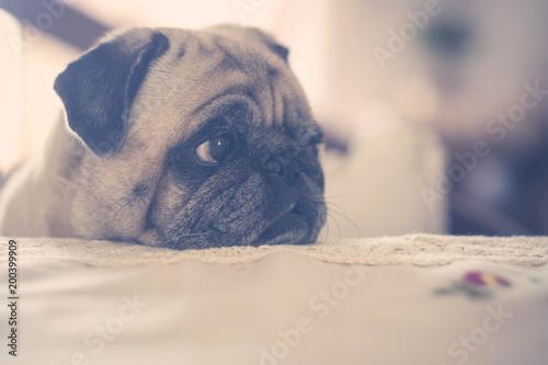 Foto Murales sweet pug with defocused background