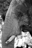 Elephant Locked