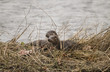 Постер, плакат: Otter and its baby on an island in a river