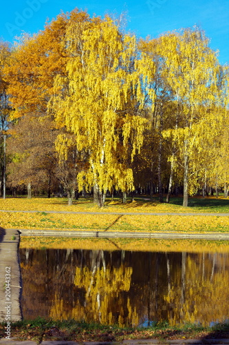 Birch Alley at Autumn - 200443362