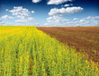 Soybean Field and sky