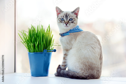 Blue eyed kitten in a collar sitting next to the bucket with fresh cat grass
