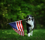 Happy border collie carrying USA flag - 200468525