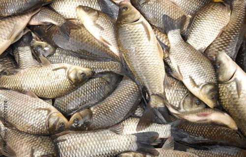close up live carp fish for sale - 200477974