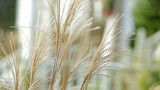 close up of ornamental grass swaying in wind - 200496382
