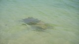 two stingrays swims on the shallows