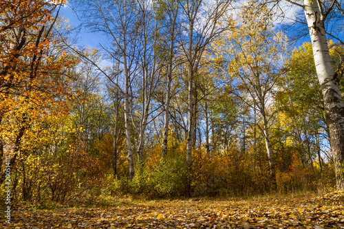 Foto op Canvas Herfst Beautiful autumn landscape - View of the birch forest near the river Siverskyi Donets, north-east of Ukraine.