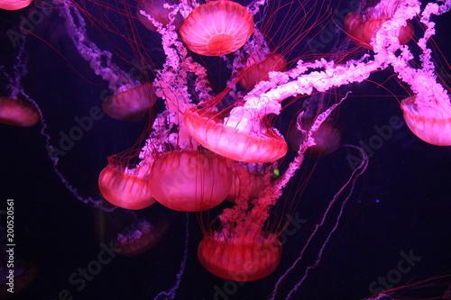 Fototapeta glowing jellyfish