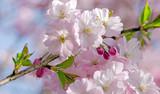 Frühlingserwachen, Glück, Freude, Optimismus, Glückwunsch, alles Liebe: zarte, duftende japanische Kirschblüten vor blauem Frühlingshimmel :) - 200521173