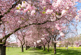 Frühlingserwachen, Glück, Freude, Optimismus, Glückwunsch, alles Liebe: zarte, duftende japanische Kirschblüten vor blauem Frühlingshimmel :) - 200521395