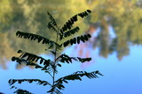 Silhouette of green leaves on acacia branches against the background of calm Danube river - 200521906