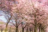 Frühlingserwachen, Glück, Freude, Sonne un Wärme genießen, Optimismus, Glückwunsch, alles Liebe: zarte, duftende japanische Kirschblüten vor blauem Frühlingshimmel :)  - 200523100