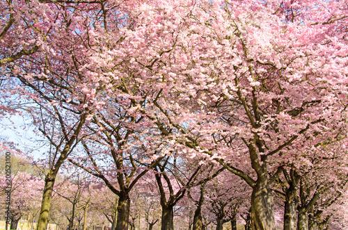 Foto op Plexiglas Lichtroze Frühlingserwachen, Glück, Freude, Sonne un Wärme genießen, Optimismus, Glückwunsch, alles Liebe: zarte, duftende japanische Kirschblüten vor blauem Frühlingshimmel :)