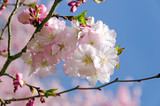 Frühlingserwachen, Glück, Freude, Sonne un Wärme genießen, Optimismus, Glückwunsch, alles Liebe: zarte, duftende japanische Kirschblüten vor blauem Frühlingshimmel :)  - 200523359