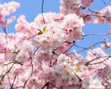 Frühlingserwachen, Glück, Freude, Sonne un Wärme genießen, Optimismus, Glückwunsch, alles Liebe: zarte, duftende japanische Kirschblüten vor blauem Frühlingshimmel :)  - 200523513