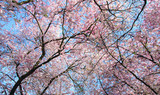 Frühlingserwachen, Glück, Freude, Sonne un Wärme genießen, Optimismus, Glückwunsch, alles Liebe: zarte, duftende japanische Kirschblüten vor blauem Frühlingshimmel :)  - 200523727