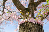 Frühlingserwachen, Glück, Freude, Sonne un Wärme genießen, Optimismus, Glückwunsch, alles Liebe: zarte, duftende japanische Kirschblüten vor blauem Frühlingshimmel :)  - 200523917