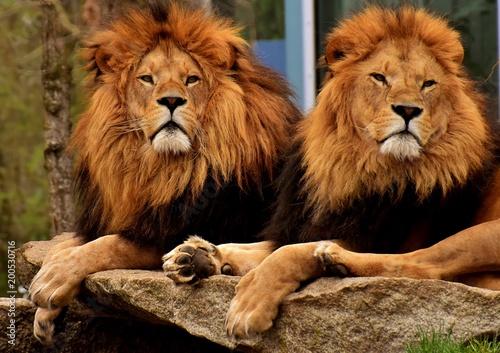 Plexiglas Lion Dangerous The Lion Mane Cat Men Zoo