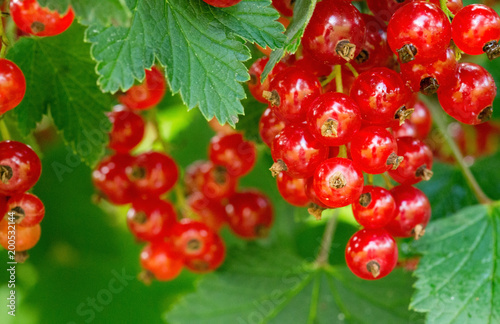 Foto Murales Ripe red currants in the garden.
