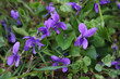 English or Common violets in the garden in early spring