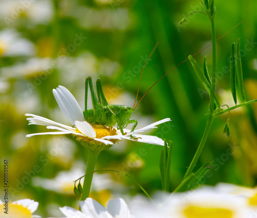 Foto Murales Green grasshopper on white