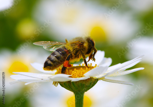 Bee and flower - 200538579
