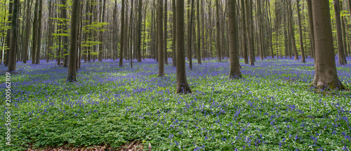 Blue Bell Forest, a carpet of blue bell flowers in a forest setting - 200562109