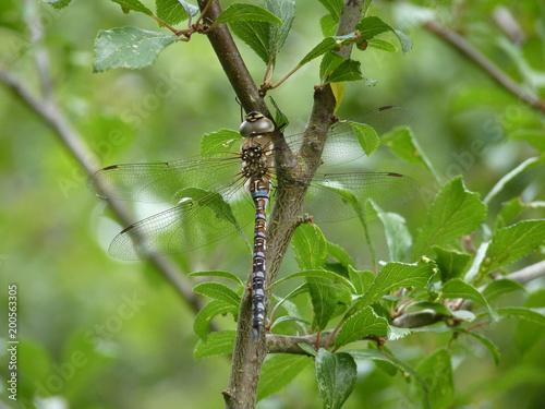 Foto Murales Migrant Hawker dragonfly, Brampton Wood, Cambridgeshire