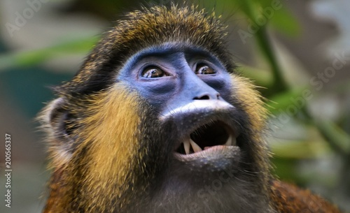 animal, mammal, wildlife, africa, nature, wild, baboon, zoo, portrait, face, mandrill, fur, vervet, baby, african, cute, safari, eyes, animals, hairy, jungle, mandril, young, brown, mother