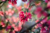 Цветущее розовое японское дерево весной на размытом фоне - 200571181