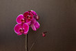 Pink orchid on a black background