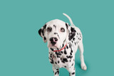 Dalmatian Puppy on Isolated Background
