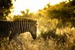 Young Plains Zebra