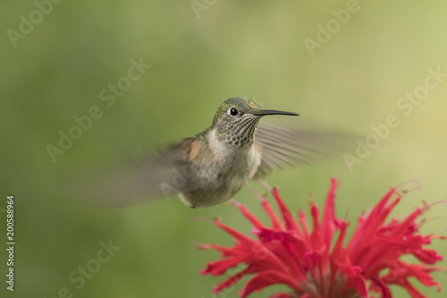 Foto op Canvas Natuur Broad-tailed hummingbird feeding; Steamboat Springs, Colorado