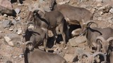 barbary sheep on mountain side slow motion 4k60p - 200596367