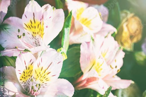 Piękne różowe lilie