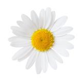 Close-up of Chamomile isolated on white background. Ox-Eye Daisy. - 200618145