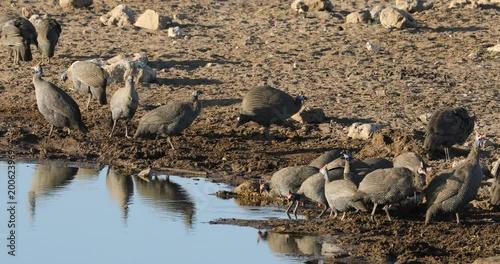 Helmeted guineafowls (Numida meleagris) drinking water, Etosha National Park, Namibia