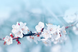 Apricot flowers blossom. Nature flower spring pastel background. White flowers