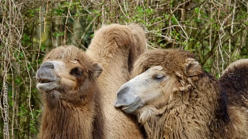 Fototapeta Trampeltier, Kamel, Wüstenschiff
