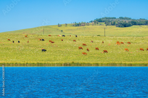 Fotobehang Blauwe jeans Cattle on Green Pastures