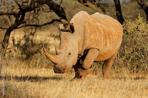 Fotobehang Neushoorn A white rhinoceros (Ceratotherium simum) grazing in natural habitat, South Africa.