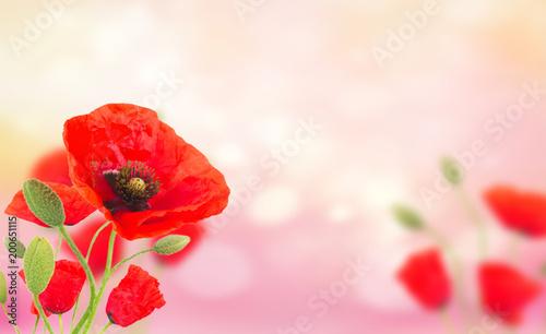 Foto op Canvas Klaprozen Poppy flowers on pink