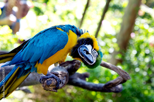 Plexiglas Papegaai Colorful portrait of Amazon parrot against jungle. Side view of wild parrot head on green background. Wildlife and rainforest exotic tropical birds as popular pet breeds