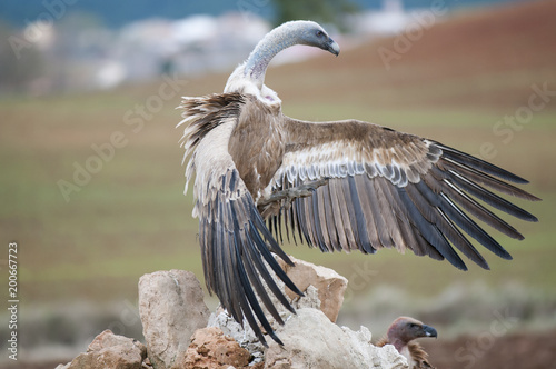 Foto Murales Vulture spotted with blood. Bird of prey about two meters in span, with the neck bare, surrounded by a necklace of long, narrow and flexible feathers, fawn body, dark shirts and a white stripe through