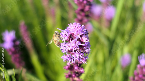 Foto op Canvas Natuur Western honey bee (Apis mellifera) feeding on a prairie blazing star flower.
