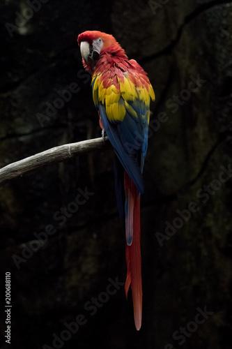 Plexiglas Papegaai Guacamayo Rojo también conocido como Scarlett Macaw